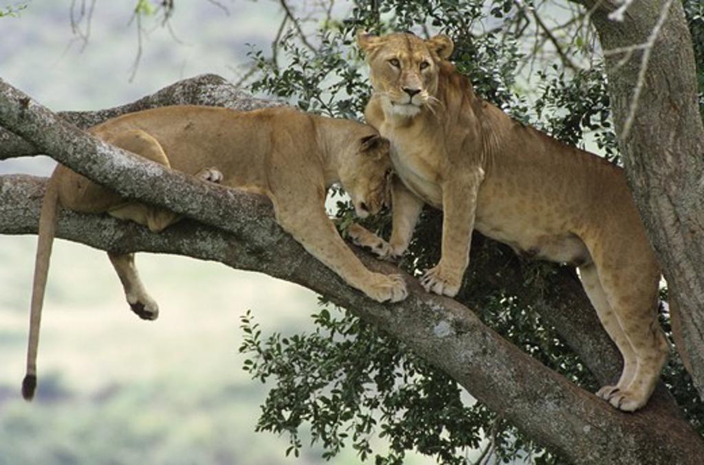 Stock Photo: 4179-34348 Lions resting in tree top (Panthera leo) female Nakuru Natl Park - Kenya