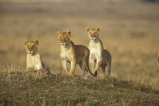 African Lionesses (Panthera leo), pre hunt, Masai Mara, Kenya : Stock Photo