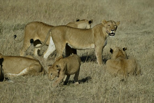 Stock Photo: 4179-34358 African Lion Pride (Panthera leo), Maasai Mara, Kenya