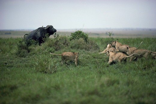 Stock Photo: 4179-34428 Pride of Lions (Panthera leo) attempting to attack a cornered African Buffalo (Syncerus caffer) Maasai Mara National Reserve, Kenya