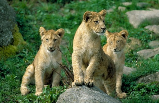 Stock Photo: 4179-34476 Lion pups (Panthera leo) Africa