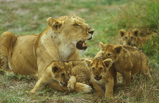Lioness with Cubs (Panthera leo), tormented by Flies : Stock Photo