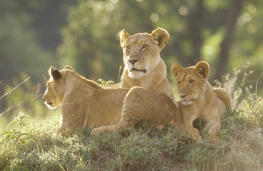 Stock Photo: 4179-34491 Lioness with Cubs (Panthera leo)