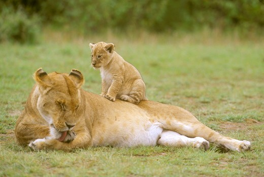African Lioness with Young (Panthera leo), Masai Mara GR, Kenya : Stock Photo