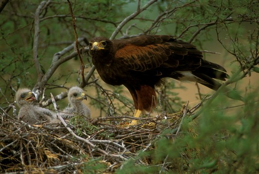 Stock Photo: 4179-3465 Harris Hawk (Parabuteo unicinctus) adult and young at nest. S. Texas USA