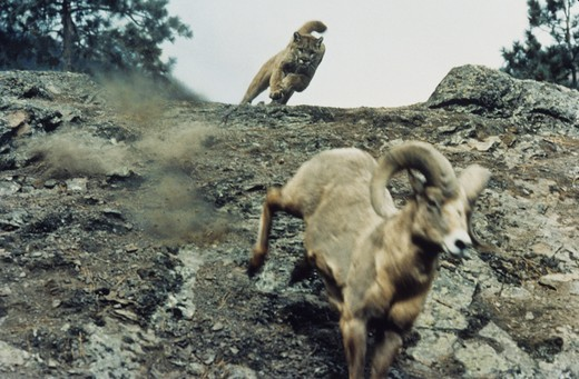 Stock Photo: 4179-34664 Mountain Lion chasing Bighorn Sheep