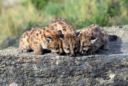 Mountain Lion 'Cougar' or 'Puma' (Felis concolor), young spotted cubs Animals of Montana Bozeman Montana : Stock Photo