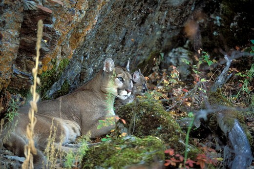 Mountain Lion 'Cougar' or 'Puma' (Felis concolor), female with young cub  Montana : Stock Photo