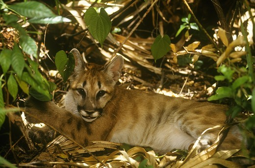 Florida Panther Kitten (Felis concolor coryi), endangered : Stock Photo