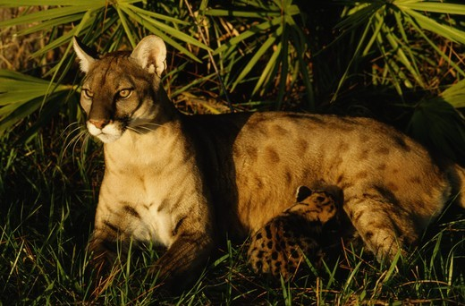 Florida Panther with cub (Felis concolor coryi) Nursing female cub : Stock Photo