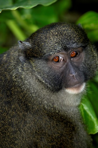 Allen's Swamp Monkey (Allenopithecus nigroviridis) Found in Congo, Zaire San Diego Zoo, California, : Stock Photo
