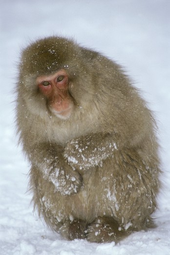 Japanese Macaque aka Snow Monkey (Macaca fuscata) Hell Valley, Nagano Japan : Stock Photo