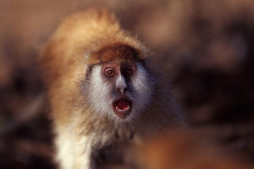 Stock Photo: 4179-35105 Patas Monkey vocalising {Erythrocebus patas} Laikipia Plateau, Kenya