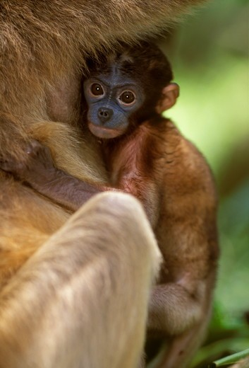 Stock Photo: 4179-35152 Baby Proboscis Monkey (Nasali larvatus), IC, rainforests of S.E. Asia