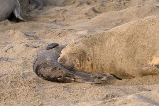 Stock Photo: 4179-35387 Elephant Seal (Mirounga angustirostris) Piedras Beach, CA