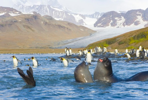 Southern elephant seal pups  (Mirounga leonina) play fighting in sea, with King penguins (Aptenodytes patagonicus) walking,  wading, swimming, diving near beach and coastal rocks, fall morning,  St. Andrews Bay; Allardyce Range; Southern Ocean; Antarctic : Stock Photo