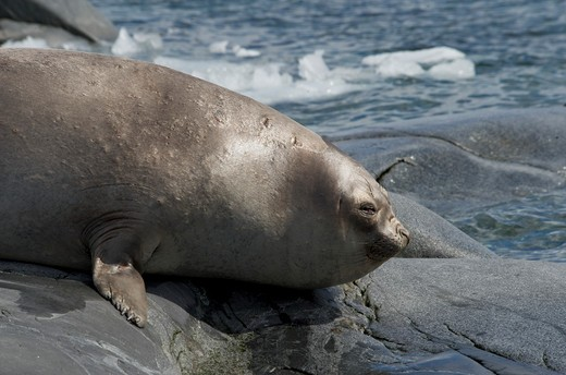 Stock Photo: 4179-35439 Southern Elephant Seal, Pleneau Island, Antarctica (Mirounga leonina)