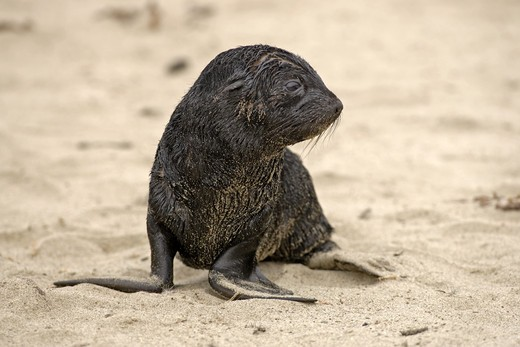 Stock Photo: 4179-35455 Cape Fur Seal (Arctocephalus pusillus) young, Cape Cross, Namibia