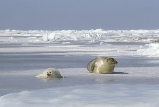 Harp Seal w/pup (Phoca groenlandica) on ice pack Gulf of St. Lawrence : Stock Photo