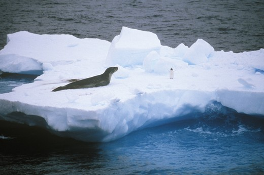 Stock Photo: 4179-35677 Leopard Seal & Adelie Penguin on Ice Floe Antarctica