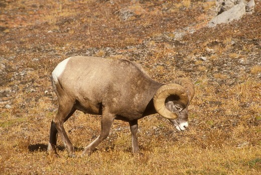 Stock Photo: 4179-35740 Bighorn Sheep (Ovis canadensis) Banff NP, Alberta, Canada