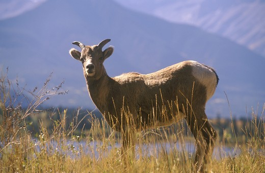 Bighorn Sheep (Ovis canadensis), Banff NP, Alberta, Canada : Stock Photo