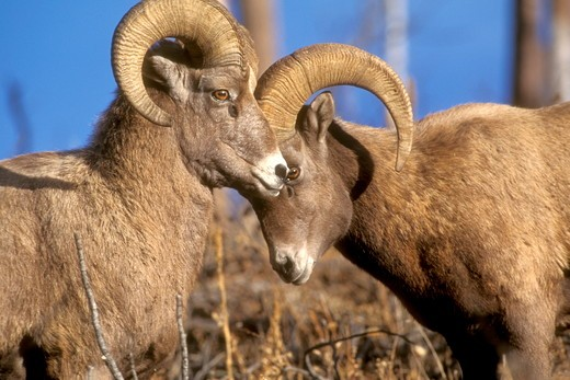 Bighorn Sheep Rams (Ovis canadensis) So. Dakota Black Hills/Custer St. Park : Stock Photo