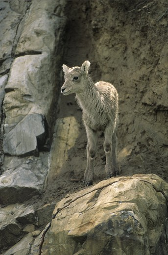 Bighorn Sheep (Ovis canadensis) Lamb, Jasper NP, Alberta, Canada : Stock Photo