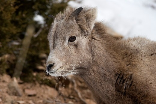 Rocky Mountain Bighorn Sheep (Ovis c canadensis) Yellowstone National Park : Stock Photo