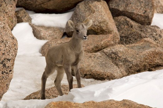 Stock Photo: 4179-35859 A newborn Bighorn Sheep Lamb explores the snowy Summit of Mt Evans Wilderness Area, CO 6/6/2005 Ovis canadensis
