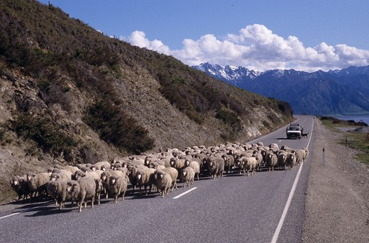 Sheepdogs working from herder's truck keep flock on Highway 6, Lake Hawea NZ : Stock Photo