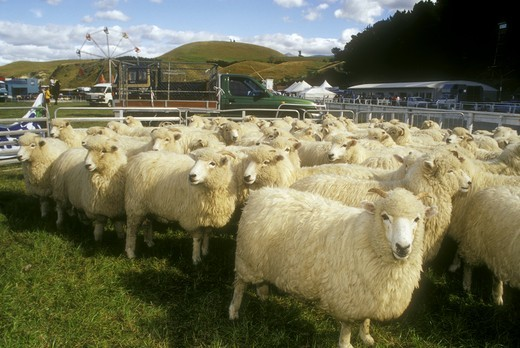 Stock Photo: 4179-35992 Herd of Drysdale Sheep, popular Carpet Wood Breed, Kalkoura A & P Show, NZ