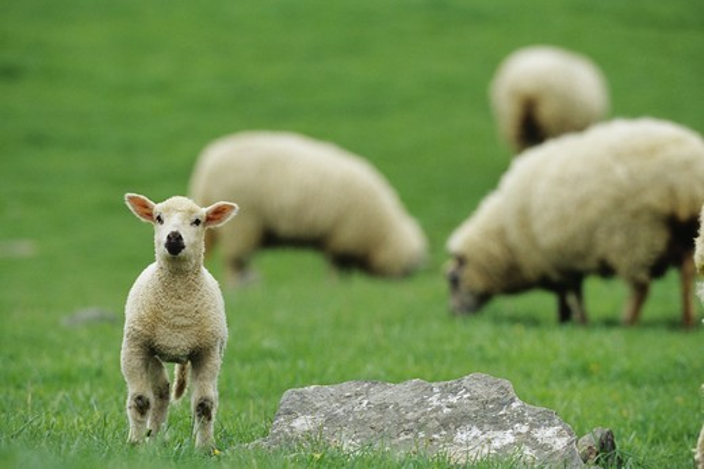 Domestic Lamb, Central Pennsylvania : Stock Photo