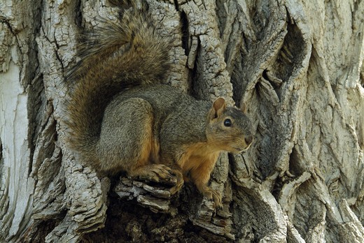 Fox Squirrel (Sciurus niger) Prospect Park, CO : Stock Photo
