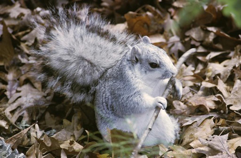 Stock Photo: 4179-36205 Delmarva Fox Squirrel endangered species Maryland
