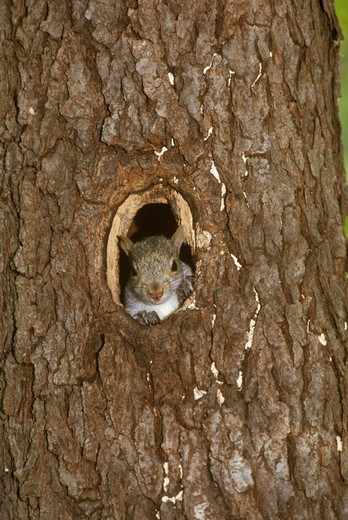 Stock Photo: 4179-36257 Baby Gray Squirrel (Sciurus carolinensis) Looking Through Nest Hole