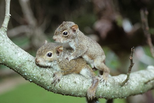 Stock Photo: 4179-36261 Young Grey Squirrels playing (Sciurus carolinensis)