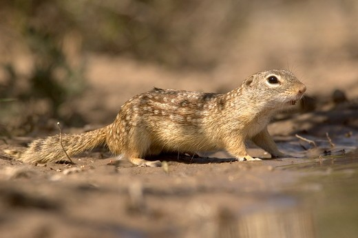 Stock Photo: 4179-36270 Mexican Ground Squirrel Spermophilus me xicnus Edinberg,Tx