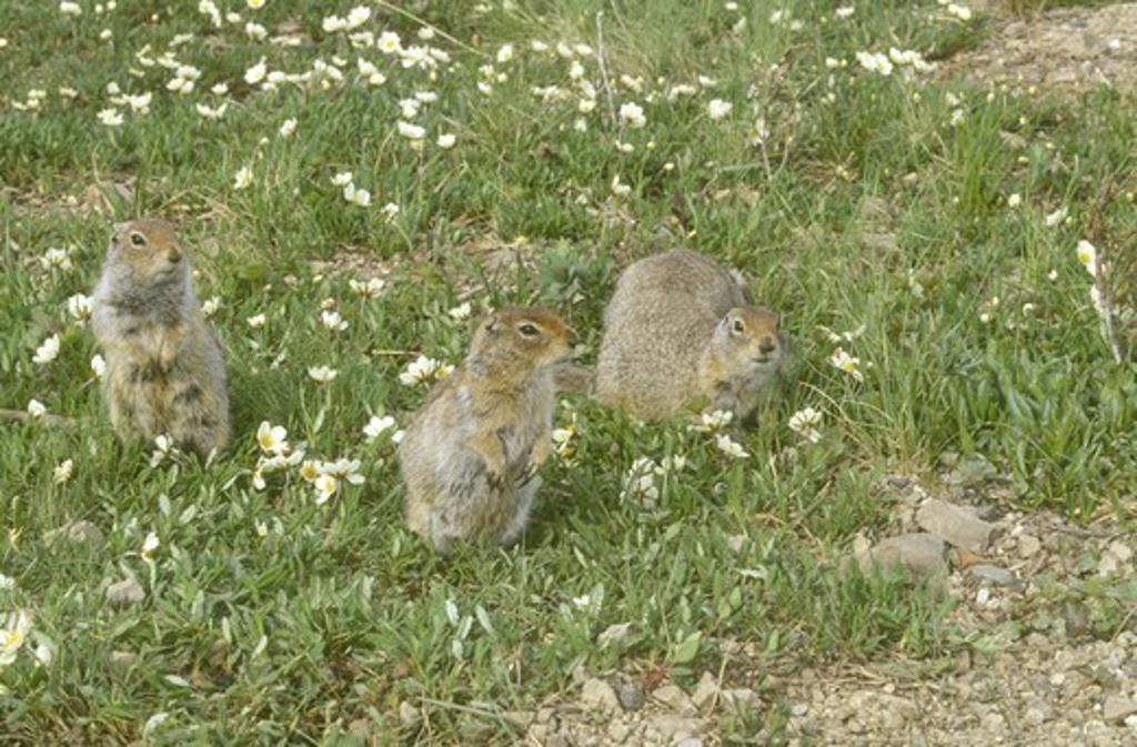 Stock Photo: 4179-36288 Arctic Ground Squirrel (Spermophilus parryii) Denali Natl Park - Alaska