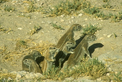 Ground Squirrel (Xerus inauris) Family at Burrow near Salvadora Dam, Etosha : Stock Photo