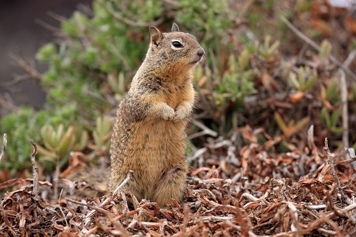Stock Photo: 4179-36317 California Ground Squirrel adult alert (Citellus beecheyi) Monterey, California, USA