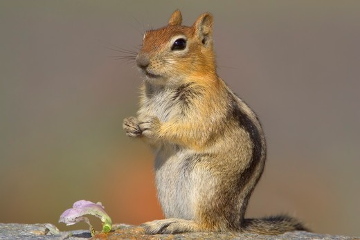 Stock Photo: 4179-36330 Golden-mantled Ground Squirrel (Spermophilus lateralis) Mono County, California, USA. portrait