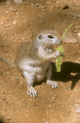 Roundtailed Ground Squirrel (Spermophilus treticaudus) AZ  eating mesquite blossom : Stock Photo
