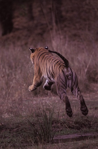 Stock Photo: 4179-36461 Tiger male leaping over a stream Bandhavgarh NP - INDIA