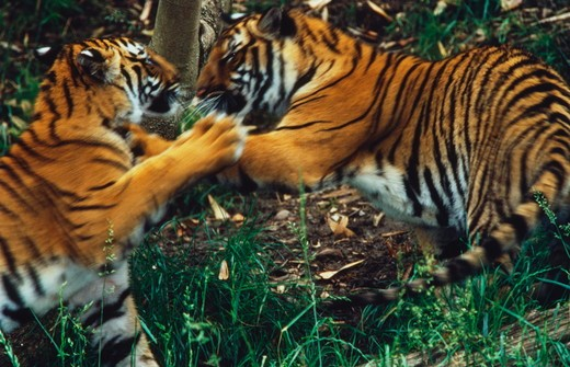 Stock Photo: 4179-36532 Indo-Chinese Tigers Sparring (Panthera tigris) San Diego Zoo
