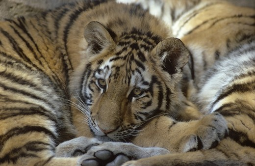 Stock Photo: 4179-36607 Siberian Tiger Cub snuggled up to Mom, IC