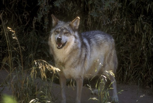 Stock Photo: 4179-36747 Mexican Gray Wolf (Canis lupus baileyi) endangered, Sonora Desert Museum, AZ
