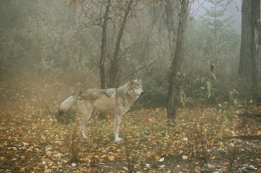 Stock Photo: 4179-36819 Timber Wolf in foggy Forest (Canis lupus), North America