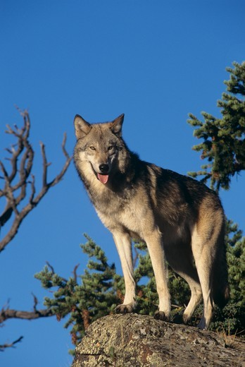 Stock Photo: 4179-36877 Gray Wolf adult - gray phase (Canis lupus) East Glacier, MT