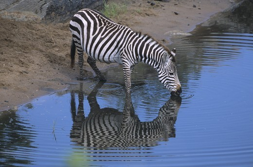 Common Zebra drinking (Equus burchellii), Talic River, Mara GR, Kenya : Stock Photo
